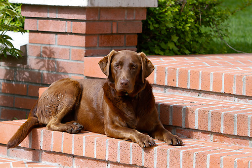 DOG 18 DB0110 01 © Kimball Stock Chocolate Labrador Retriever Laying On Brick Steps