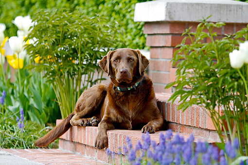 DOG 18 DB0111 01 © Kimball Stock Chocolate Labrador Retriever Laying On Brick Steps By Garden
