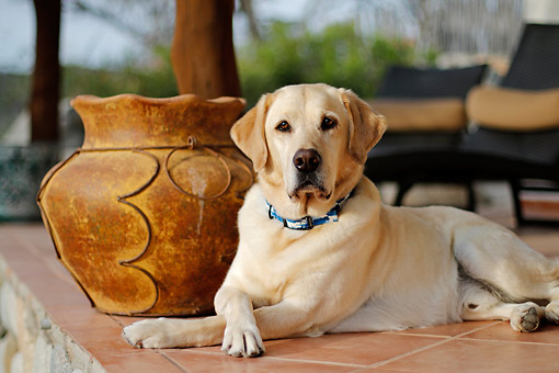 DOG 18 DB0113 01 © Kimball Stock Yellow Labrador Retriever Lounging By The Pool