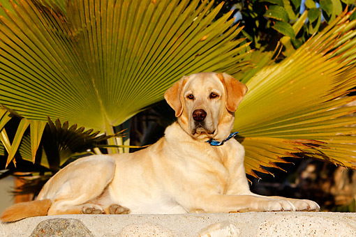 DOG 18 DB0114 01 © Kimball Stock Yellow Labrador Retriever Lounging By Palms