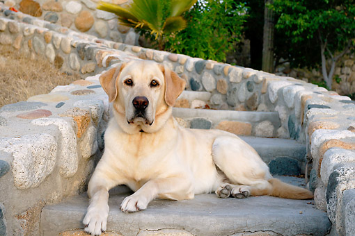 DOG 18 DB0118 01 © Kimball Stock Yellow Labrador Retriever Laying On Cobblestone Stairs By Palms