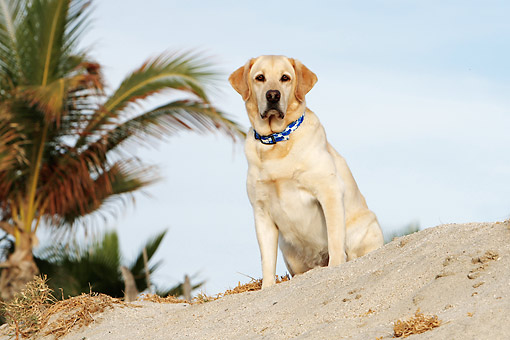 DOG 18 DB0125 01 © Kimball Stock Yellow Labrador Retriever Sitting At Beach