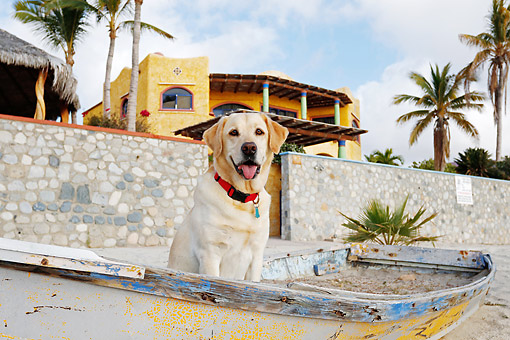 DOG 18 DB0126 01 © Kimball Stock Yellow Labrador Retriever Sitting In Old Boat At Beach