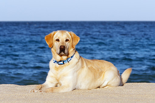 DOG 18 DB0127 01 © Kimball Stock Yellow Labrador Laying At Beach