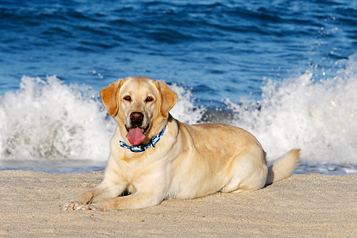 DOG 18 DB0128 01 © Kimball Stock Yellow Labrador Laying At Beach