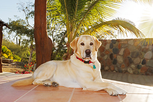 DOG 18 DB0129 01 © Kimball Stock Yellow Labrador Retriever Laying On Tiles By Palm Trees In The Sun