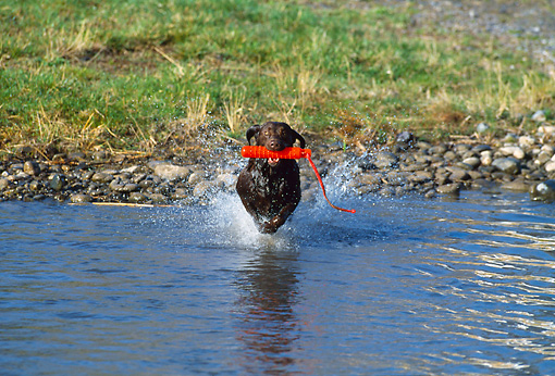 DOG 18 DS0014 01 © Kimball Stock Chocolate Labrador Retriever Running Into Water Carrying Orange Dummy