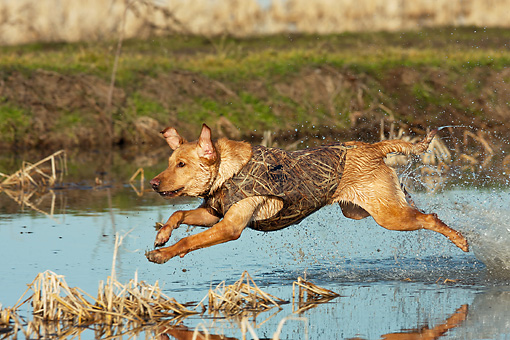DOG 18 DS0015 01 © Kimball Stock Yellow Labrador Retriever Splashing Through Water To Retrieve Duck