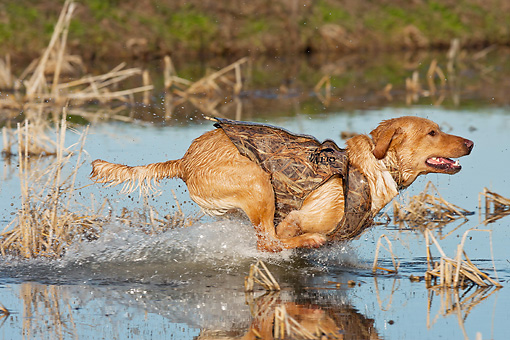 DOG 18 DS0016 01 © Kimball Stock Yellow Labrador Retriever Splashing Through Water To Retrieve Duck