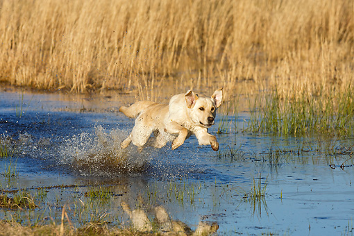 DOG 18 DS0018 01 © Kimball Stock Yellow Labrador Retriever Splashing Through Water During Hunt