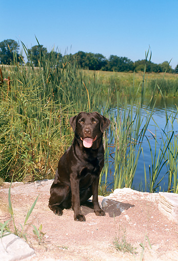 DOG 18 FA0024 01 © Kimball Stock Chocolate Labrador Retriever Sitting On Rock By Lake