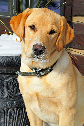 DOG 18 IC0019 01 © Kimball Stock Portrait Of Yellow Labrador Retriever Sitting By Cabin In Snow