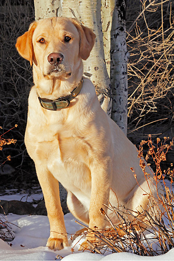 DOG 18 IC0020 01 © Kimball Stock Portrait Of Yellow Labrador Retriever Sitting In Snow