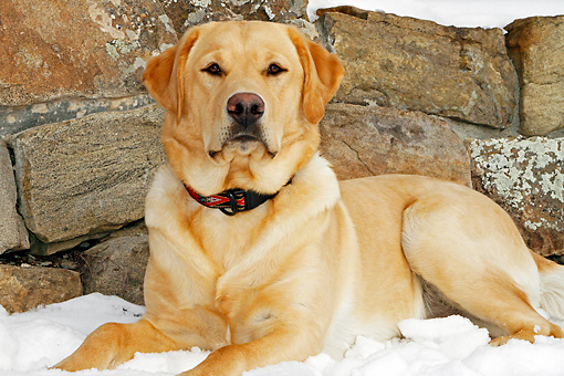DOG 18 IC0021 01 © Kimball Stock Portrait Of Yellow Labrador Retriever Laying In Snow