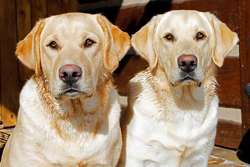 DOG 18 IC0023 01 © Kimball Stock Close-Up Of Two Yellow Labrador Retrievers