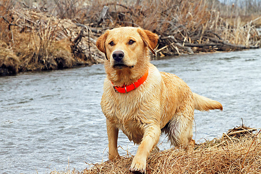 DOG 18 IC0024 01 © Kimball Stock Yellow Labrador Retriever Running Along River