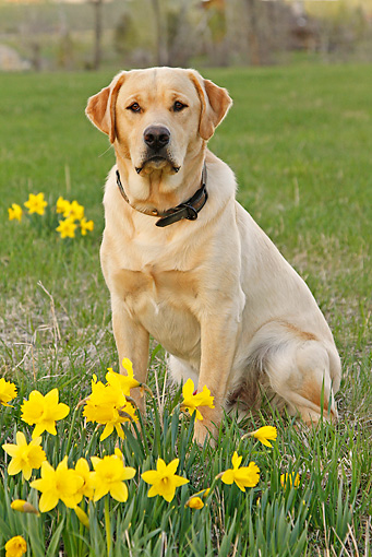 DOG 18 IC0025 01 © Kimball Stock Yellow Labrador Retriever Sitting In Field By Daffodils