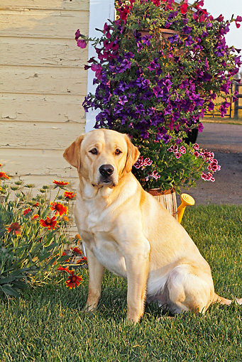 DOG 18 IC0029 01 © Kimball Stock Yellow Labrador Retriever Sitting On Lawn By House