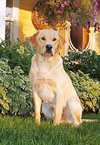 DOG 18 IC0030 01 © Kimball Stock Yellow Labrador Retriever Sitting On Lawn By House