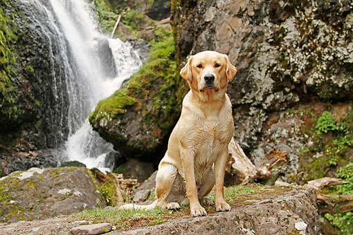 DOG 18 IC0034 01 © Kimball Stock Yellow Labrador Retriever Sitting By Waterfall