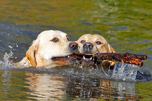 DOG 18 IC0035 01 © Kimball Stock Two Yellow Labrador Retrievers Fetching Stick In Water