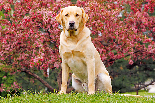 DOG 18 IC0038 01 © Kimball Stock Yellow Labrador Retriever Sitting On Grass By Autumn Trees