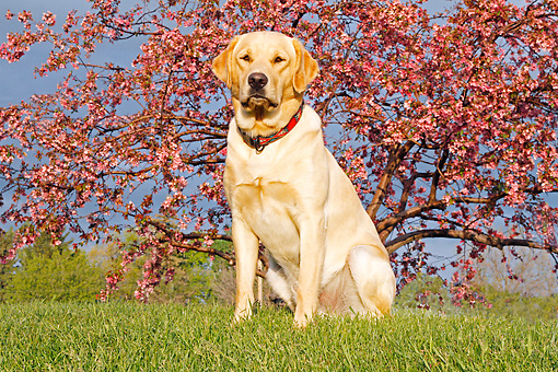 DOG 18 IC0039 01 © Kimball Stock Yellow Labrador Retriever Sitting On Grass By Autumn Trees