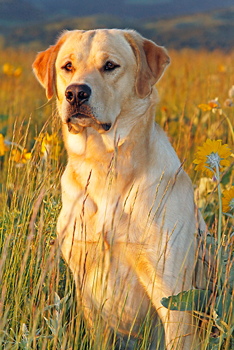 DOG 18 IC0040 01 © Kimball Stock Yellow Labrador Retriever Sitting In Tall Grass At Dusk