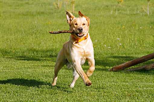 DOG 18 IC0042 01 © Kimball Stock Yellow Labrador Retriever Fetching Stick On Field