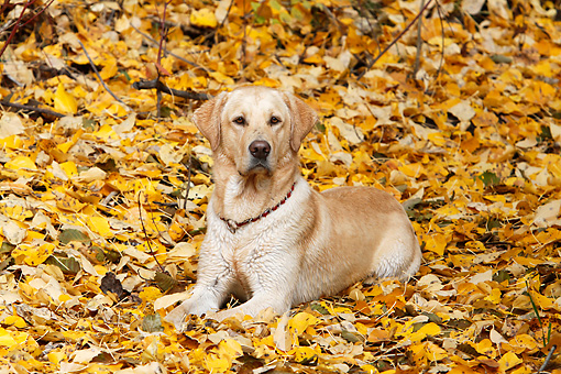 DOG 18 IC0044 01 © Kimball Stock Yellow Labrador Retriever Laying In Fallen Leaves
