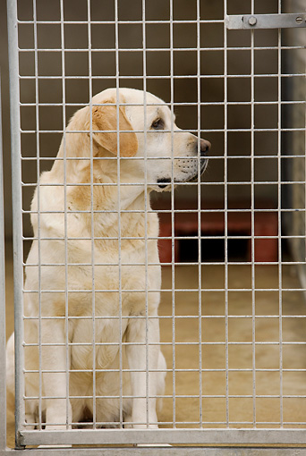 DOG 18 JE0002 01 © Kimball Stock Yellow Labrador Retriever Sitting In Kennel
