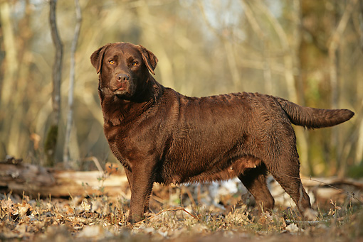 DOG 18 JE0007 01 © Kimball Stock Chocolate Laborador Retriever Standing In Forest Profile