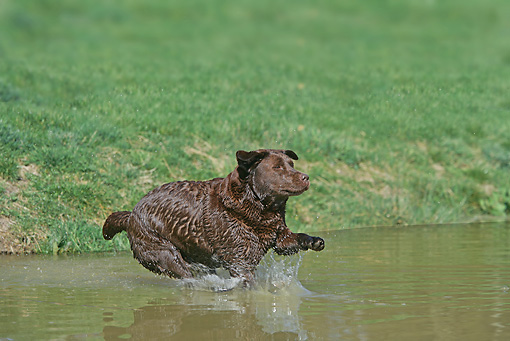 DOG 18 JE0016 01 © Kimball Stock Chocolate Laborador Retriever Jumping Into Pond