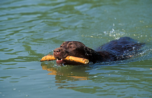 DOG 18 JE0017 01 © Kimball Stock Chocolate Laborador Retriever Swimming In Pond Carrying Stick In Mouth
