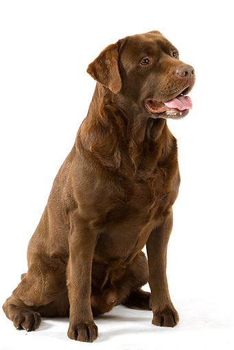 DOG 18 JE0018 01 © Kimball Stock Chocolate Laborador Retriever Sitting On White Seamless
