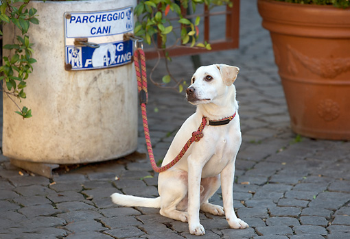DOG 18 JE0022 01 © Kimball Stock Yellow Laborador Retriever Tied To Garbage Can Italy