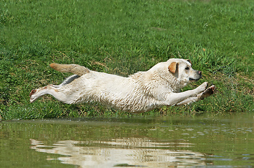 DOG 18 JE0038 01 © Kimball Stock Yellow Labrador Retriever Leaping Into Water