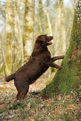 DOG 18 JE0047 01 © Kimball Stock Chocolate Labrador Retriever Leaning On Tree In Woods