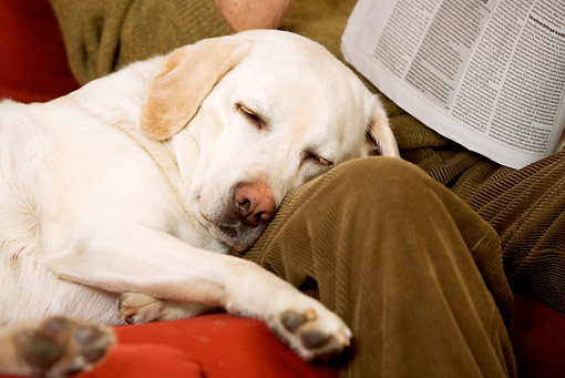 DOG 18 JE0050 01 © Kimball Stock Close-Up Of Yellow Labrador Retriever Sleeping On Owner's Lap