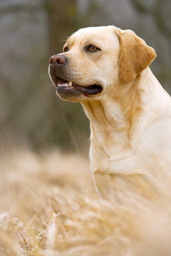 DOG 18 JE0053 01 © Kimball Stock Yellow Labrador Retriever Sitting In Meadow