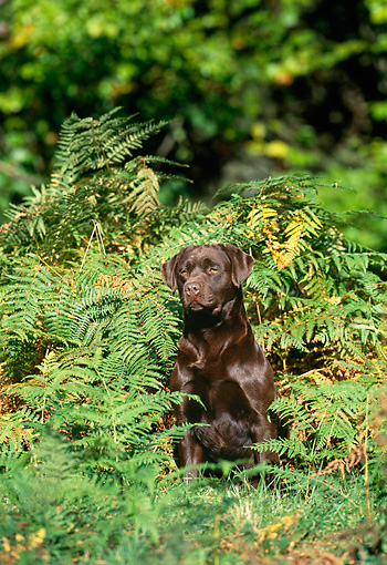 DOG 18 KH0011 01 © Kimball Stock Chocolate Labrador Retriever Sitting In Ferns