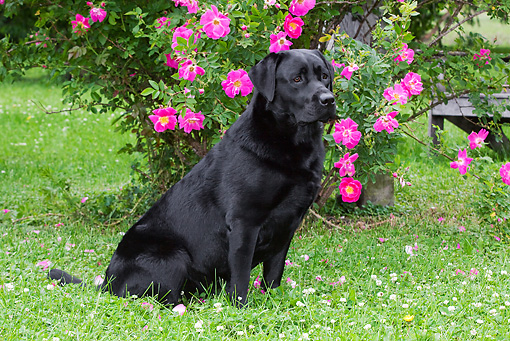 DOG 18 LS0036 01 © Kimball Stock Black Labrador Retriever Sitting By Pink Flowers