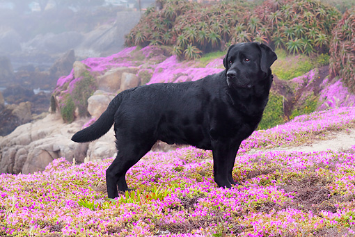 DOG 18 LS0039 01 © Kimball Stock Black Labrador Retriever Standing In Field Of Purple Flowers