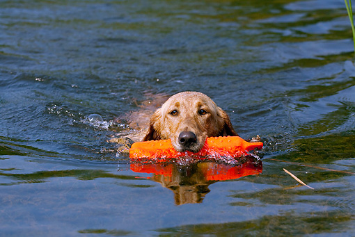 DOG 18 LS0044 01 © Kimball Stock Yellow Labrador Retriever Swimming With Orange Dummy In Mouth
