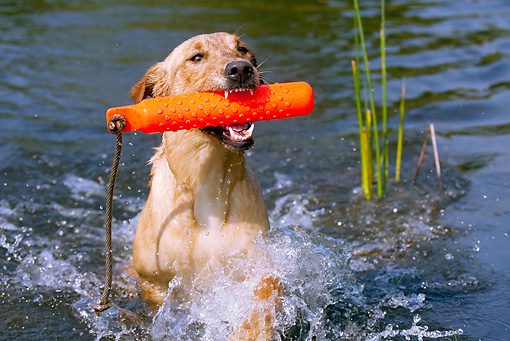 DOG 18 LS0045 01 © Kimball Stock Yellow Labrador Retriever Swimming With Orange Dummy In Mouth