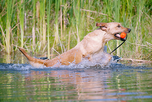 DOG 18 LS0046 01 © Kimball Stock Yellow Labrador Retriever Running In Water With Orange Dummy In Mouth