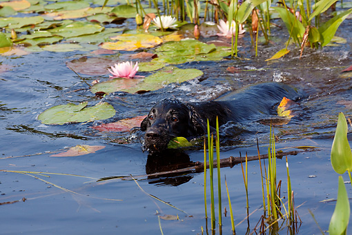 DOG 18 LS0052 01 © Kimball Stock Black Labrador Retriever Swimming In Pond With Water Lily Pads