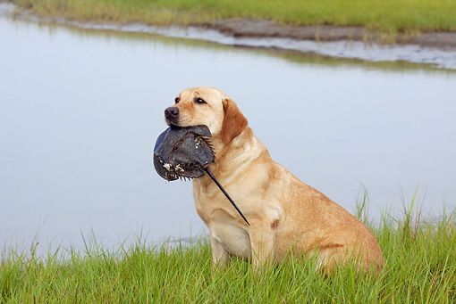 DOG 18 LS0054 01 © Kimball Stock Yellow Labrador Retriever Holding Horseshoe Crab In Mouth