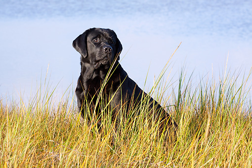 DOG 18 LS0058 01 © Kimball Stock Black Labrador Retriever Sitting In Marsh By Pond