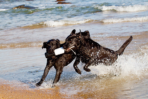 DOG 18 LS0060 01 © Kimball Stock Two Black Labrador Retrievers Fighting Over Training Bumper In Ocean Surf